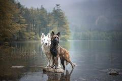 伯格blanc suisse和比利时牧羊人一个岩石的在一个美好的风景在山之间 在湖的两条狗 库存照片