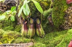 伯比奇的捕虫草-猪笼草burbidgeae 免版税库存照片