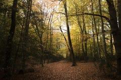 伯翰姆山毛榉,英国- 2016年11月7日:伯翰姆山毛榉的密集的森林地在白金汉郡 免版税库存照片