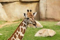 伸出他的舌头的长颈鹿的纵向 免版税库存照片