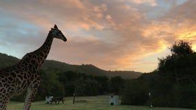 伸出它的舌头的非洲长颈鹿 影视素材