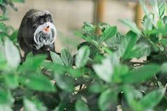 伸出它的舌头的微小的小的猴子  免版税库存照片
