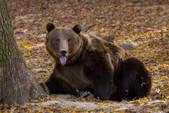 伸出它的舌头的棕熊  免版税图库摄影