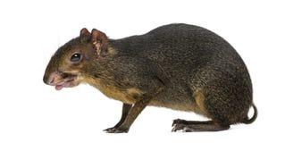 伸出它的舌头的绿色acouchi, Myoprocta pratti 库存图片