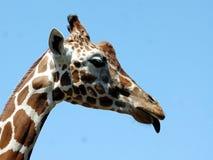 伸出舌头的长颈鹿 免版税图库摄影