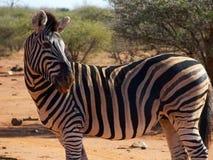 伸出舌头的斑马 免版税库存照片