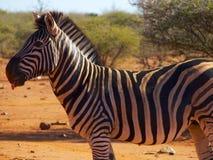 伸出舌头的斑马 免版税库存图片