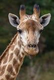 伸出舌头的长颈鹿 图库摄影