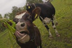 伸出舌头的滑稽的母牛  免版税库存照片