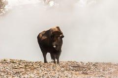 伸出他的舌头的北美野牛  库存图片