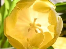 伸直软的黄色郁金香的瓣精美地打开和显露 免版税库存照片