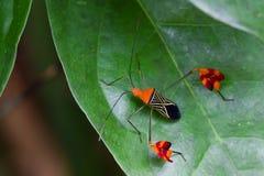 似亚马逊叶子有脚的臭虫 库存图片