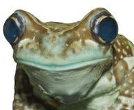 似亚马逊青蛙牛奶 免版税库存图片