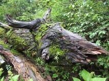类似公牛的垫铁和后面的树枝,花谷  库存照片