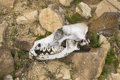 似犬头骨在原处在内盖夫的Judaen沙漠 免版税库存照片