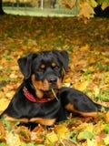 位于在地面上的Rottweiler小狗在森林里 库存照片