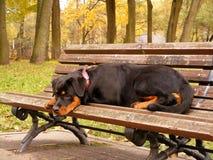 位于在庭院长凳的Rottweiler 库存图片