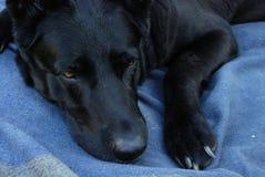 位于在毯子的狗 库存图片