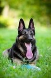 位于在草的德国牧羊犬狗 库存照片