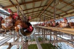 位于河的养鸡场 库存图片