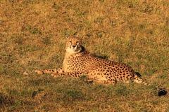 位于的猎豹崽 免版税库存照片