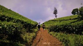 位于西爪哇省的惊人的茶园,印度尼西亚 图库摄影