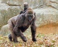低地大猩猩母亲和婴儿 免版税库存照片