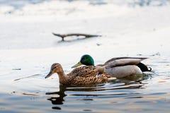 低头在一个熔化的冰池塘的夫妇在公园在春天在日落在4月 有鸭子的德雷克 免版税库存图片