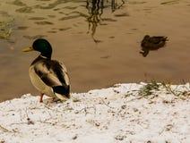 低头在池塘的第一家积雪的银行 免版税库存照片