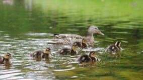 低头用在漂浮在池塘水中的步行的鸭子 美好的自然和谐  免版税库存图片