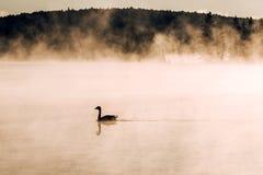 低头ake游泳阿尔根金族国家公园安大略加拿大日落日出的两条河有雾有雾的背景 免版税图库摄影
