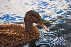 低头quacking 免版税图库摄影