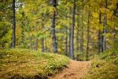 低景深一条小径的视图有色的落叶松属的forrest在背景中 库存图片