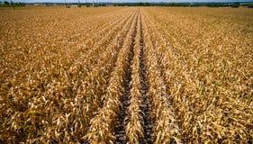 低角度寄生虫视图棕色庄稼行和行调遣结尾生活在得克萨斯天旱的夏时 免版税图库摄影