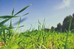 低角度观点的反对蓝天的新鲜的草与云彩 自由和更新概念 免版税库存照片