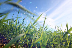 低角度观点的反对蓝天的新鲜的草与云彩 自由和更新概念 免版税库存图片