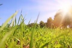 低角度观点的新鲜的草 自由和更新概念 图库摄影