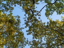 低角度视图到橡树里上面与蓝天的 免版税库存图片