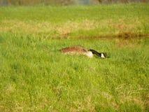低调的鹅保持掩藏她的巢 免版税库存图片