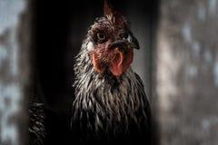 低调的年轻母鸡关闭 免版税库存照片