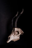 低调,山羊的头骨在黑背景,侧视图的 库存照片