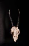 低调,山羊的头骨在黑背景,正面图的 免版税库存图片
