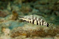 低音丑角鲈科鱼类tigrinus 免版税库存图片