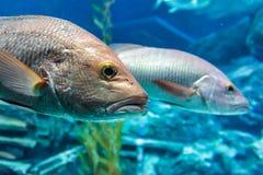 低音鱼 库存图片