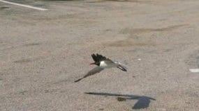 低飞行海鸥 库存照片