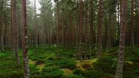低飞行通过一个森林在苏格兰高地 股票视频