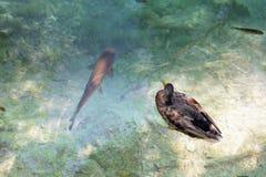 低头和一条大鱼在水中 免版税库存图片