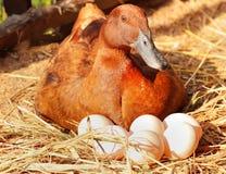 低头孵养器她的在秸杆巢的鸡蛋 免版税图库摄影