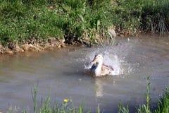 低头游泳和沐浴在水中在一个晴天 图库摄影