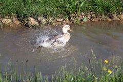 低头游泳和沐浴在水中在一个晴天 库存图片